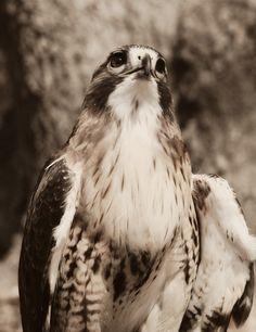 hawk~