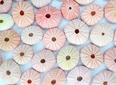 A granel muchas shells de encantador erizo rosa 50 ideales para la decoración de la boda de playa, instalaciones de aire o manualidades!  Tamaño 1.25-2 L. *** Rosa erizos son naturalmente pequeños. Por favor hacer referencia a una regla si no está seguro del tamaño antes de purchase.* **  Erizos de color de rosa varían en color, por favor ver foto cuidadosamente para las variaciones de color posibles (no todos necesariamente son 100% puro color de rosa). Estos son productos de la naturaleza…