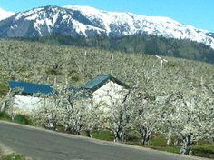 Beautiful Wenatchee WA during apple blossem season