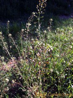 Teekräuter: Gewöhnliches Hirtentäschel (Capsella bursa-pastoris) selbst anbauen mit Samen von Magic Garden Seeds