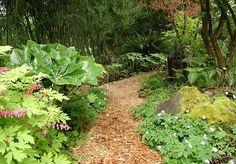 Dicentra, Wood anemone in woodland garden