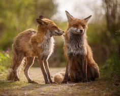 beautiful-wildlife: Pair Grooming by Claudia Banzer