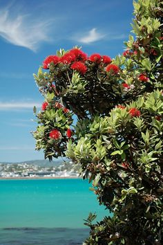 New Zealand Christmas tree (pohutukawa tree)