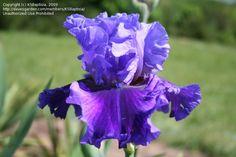 evening tidings iris - Google Search