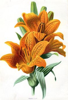 1887 Antique Orange Lily Print Lithograph by AntiquarianPrints, $15.00