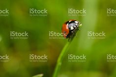 My latest attempt on macro photography. Ladybug climbing grass blade. We had few hours of sun this week, so this came out pretty well.