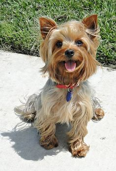 Yorkshire Terrier Dog Breed, this ones a happy pooch Yorshire Terrier, Terrier Dog Breeds, Silky Terrier, Yorkies, Yorkie Puppy, Puppy Obedience Training, Basic Dog Training, Training Tips, Cute Puppies