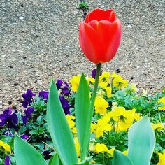 Spring is almost here. #spring #blossom #floral #flower #tulip #green #nature #beautiful #fresh #blooming #red #season #colorful #bloom #color #flora #garden #bunch #beauty #decorative #natural #summer #present #springtime #bright #space #CatchyEye