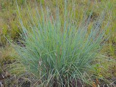 Prairie Moon Nursery :: Seeds :: Schizachyrium scoparium (Little Bluestem)