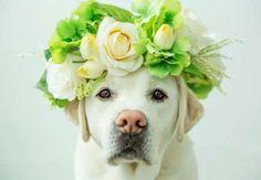 Labrador Retriever with Flower Crown - Diane Diederich/E+/Getty Images
