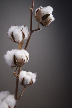Une fleur sèche & originale à laquelle on ne pense pas assez! fleur de coton pour déposer sur les 10 tables...