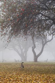 Beauty Rendezvous - Canada Geese under apple trees by Mary Ellen...