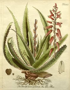 The famous Ebers papyrus discovered in Thebes in 1858, which dates to the reign of the king AmenHotep III in 1552 BC, lists the use of aloe both in drugs and cosmetics, demonstrating the use of aloe vera over the preceding 2000 years. Aloe perfoliata Liliaceae Drawing by F.B. Vietz.   Icones Plantarum Medico,  Ferdinand Bernhard, 1804.