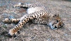 Yeats, our ambassador cheetah, chillaxing in his camp. Taken July 2014, we need some rain...it has been a dry winter