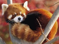 red panda bdo