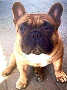 Find Out More On The Smart French Bulldog Puppies Grooming Blue Fawn French Bulldog, French Bulldog Harness, French Bulldog Facts, French Bulldogs, Cãezinhos Bulldog, Bulldog Puppies For Sale, French Bulldog Puppies, French Bulldog Information, French Bulldog Personality