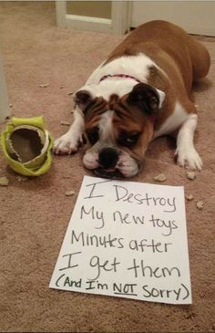 """I destroy my new toys minutes after I get them. (and I'm not sorry)."" ~ Dog Shaming shame - Bull Dog looks plenty sorry."