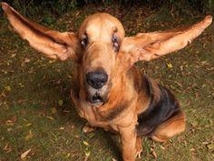 chien grande oreilles - frais de vétérinaires pour chien - Assur O'Poil - assurance santé