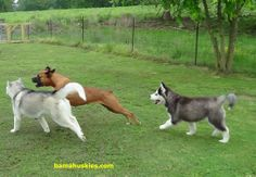 http://bamahuskies.us/wp-content/uploads/2014/01/huskies-and-a-boxer-playing.jpg