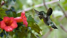 Plant a Hummingbird Vine - Attracts lots of hummingbirds. Hummingbird Vine (Trumpet Vine) will attra
