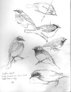 Pencil Drawing Techniques Just Warblers – Drawing The Motmot Landscape Drawings, Bird Drawings, Pencil Drawings, Eye Drawings, Vogel Illustration, Bird Sketch, Drawing Techniques, Drawing Tips, Drawing Ideas