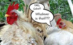 OMG, Gabe!!! Whatever is that??? #chickens #poultry #hen #rooster