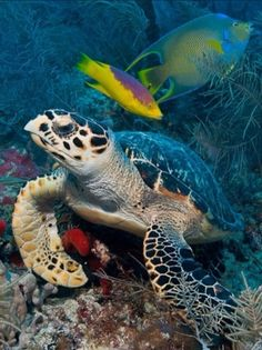 What a gorgeous seal life image! Sea turtles and brilliantly adorned tropical fish are common sights at Molasses Reef. Tropical Animals, Tropical Fish, Colorful Fish, Underwater Creatures, Ocean Creatures, Beautiful Creatures, Animals Beautiful, Animals And Pets, Cute Animals
