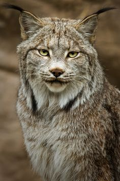Lynx / So cool. BUT, Would foil myself if seen in wilderness.