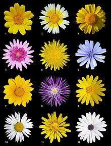 Photo: Botany. The Asteraceae family include Sunflower, Echinacea, Yarrow and Calendula