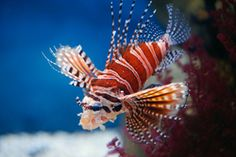 Being smaller than their red lion cousins, dwarf lions make more manageable additions to the average tank. Beautiful, hardy, and graceful, they are sure to pop in any setup. #lionfish #saltwater fish #fish tank