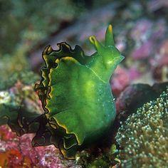 Elysia chlorotica - Este molusco se tornou conhecido por ser o primeiro animal que mostrou a capacidade de realizar a fotossíntese depois de se alimentar da Vaucheria litorea, uma alga marinha, e roubar-lhe os cloroplastos através de um processo conhecido como cleptoplastia. Porém, essa capacidade não é passada de geração em geração e para que se mantenha, a lesma deve continuar a alimentar-se da alga ou, como foi provado, roubar igualmente os genes necessários.