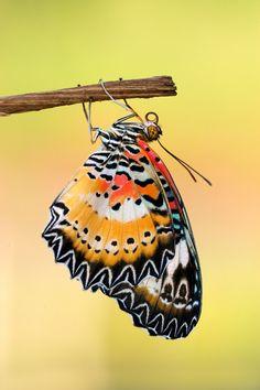 Leopard Lacewing - male - by inckurei