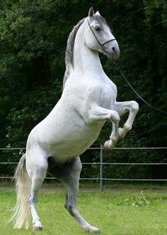 Lipizzaner stallion Maestoso Sofija, barn name Prinzi, in training. photo: Ilona Kirsch.