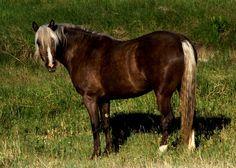 Chocolate palomino Morgan Horse. I'd love a chocolate Palomino, any Palomino/ Cremello/ or Buckskin Foundation style Morgan.