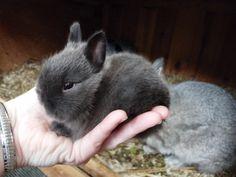 Brighteyes Bunnies | Netherland Dwarf Rabbits