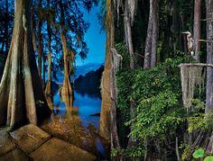 TEXAS - Bald cypress  trees flourish on Caddo Lake, as seen near Big Pines Lodge. (Photos by J. Griffis Smith)