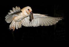 Обыкновенная сипуха Увлекательные фото птиц от фотографа Яки Зандер