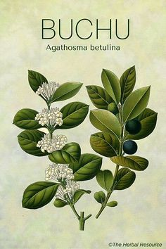 buchu (agathosma betulina)