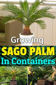 Whether you're Growing Sago Palm in a Container or on the ground, there're a few things you need to know before planting them. Learn them well in this Sago Palm Care guide! Container Plants, Container Gardening, Gardening Tips, Organic Gardening, Plant Containers, Gardening Books, Indoor Gardening, Vintage Garden Decor, Vintage Gardening