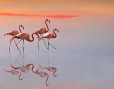 Flamingo | Tattoo Ideas & Inspiration - Animals | The flamingo is a tropical animal often considered a symbol of Florida. In ancient Egypt, flamingos were symbols of the sun. Egyptians believed that flamingos represented the sun god Ra. Flamingos are social, caring, loving, and family-oriented animals, and can therefore be used to represent things like family and protection. Other symbolism attached to the flamingo is charm, balance, and new experiences.