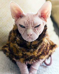 Grumpy cat has nothing on Loki the Sphynx cat. Grumpy Cat, Chat Munchkin, Chat Sphynx, Hairless Cats, Siamese Cat, Ugly Cat, Funny Animals, Cute Animals, Sphinx Cat