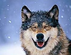Can someone invent a quick-make-me-smile button? No? OK, the following are acceptable alternatives. Gray wolves are considered to be eleg...