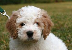 Google Image Result for http://www.dogbreedinfo.com/images15/MiniatureGoldendoodleBuddy016Buddycloseresize.JPG