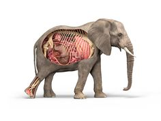 Elephant Anatomy work created in ZBrush by Peter Minister with a render by Arran Lewis - http://zbru.sh/8p