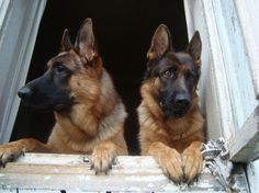 GSDs...Cute couple