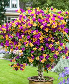 Get a mixed bougainvillea! 20 pcs/bag bougainvillea seeds, Bougainvillea Spectabilis Willd Seeds, beautiful flower seeds bonsai pot plant for home garden Beautiful Gardens, Beautiful Flowers, Simply Beautiful, Bougainvillea Tree, Plantas Bonsai, Tree Seeds, Hardy Plants, Colorful Garden, Flowering Trees