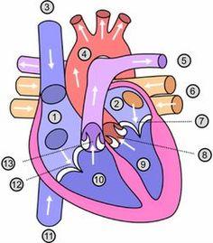 Een website waar je informatie vindt over het hart- en vaatstelsel. Deze webpagina gaat dieper in op de anatomie van het hart. (website)