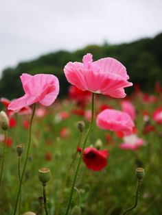 Pink poppies...If I had my own country, this would be the National Flower!