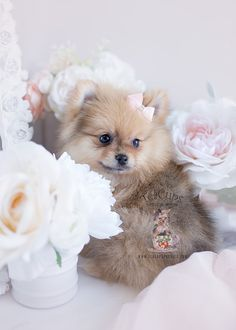 Wolf sable Pomeranian puppy by TeaCup Puppy Boutique #pomeranian #puppy #puppies #dog #doglovers #teacuppuppies