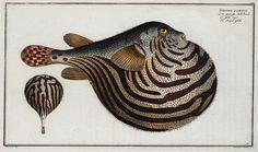 Tetrodon leneatus, The Striped Globe. (1785-1797)